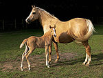 Adult horse, presumably female, standing behind a baby horse.  The adult horse is palomino, a golden color.  The baby horse is chestnut, a light red-brown color.