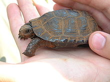 This shaded bog turtle specimen is resting in the palm of a person's hand, highlighting its petite size.
