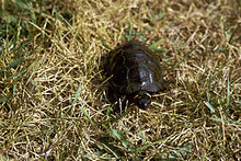 A bog turtle standing on all fours walking through a thick patch of grass, viewed from abaove.