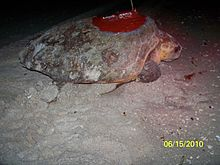 A loggerhead sea turtle resting on the beach. An antenna is attached to its back.