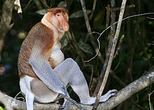 A male proboscis monkey sitting on a branch
