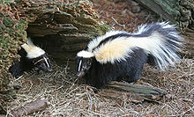 Two skunks displaying their tails and backsides. The skunk on the right is larger than the one on the left, and both are facing towards the middle of the image.