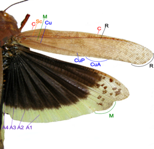 Grasshopper wing structure.png