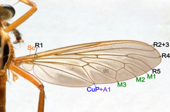 Fly wing structure.png